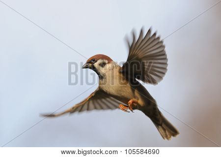 Flying Tree Sparrow Against Sky Background