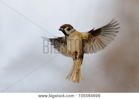 Isolated Flying Tree Sparrow