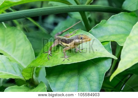 Gecko On Green Plant Leaf, Puerto  Rico