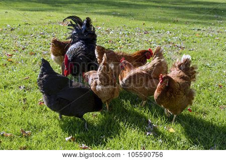 A black rooster with hens