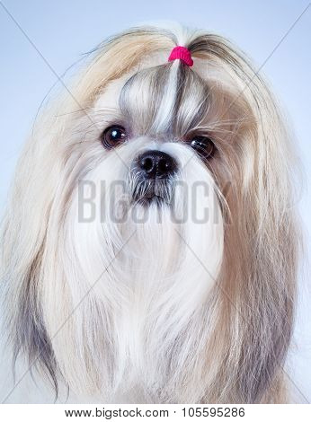Shih tzu dog portrait on bright background