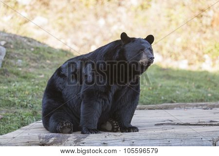 A lone large black bear at rest in the fall season