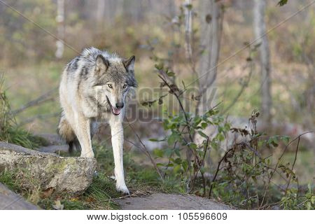 A lone Timber Wolf at play
