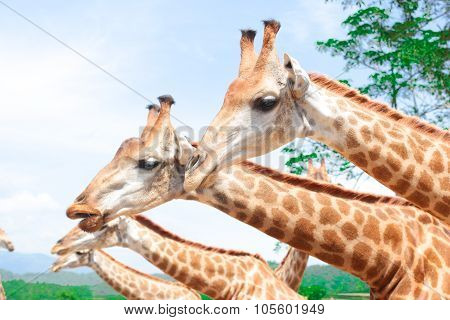 the giraffes in chiangmai zoo