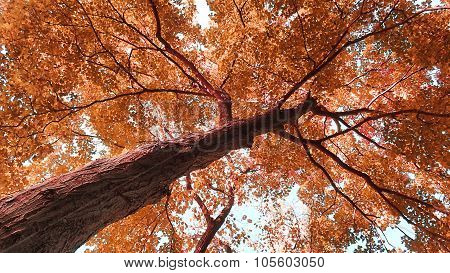 Red Sienna Maple Tree Canopy.