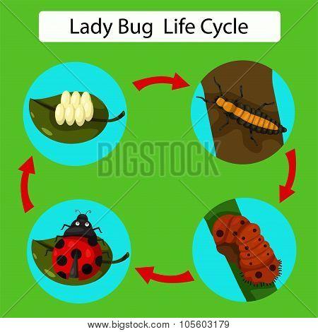 Illustration of life cycle of a Ladybug