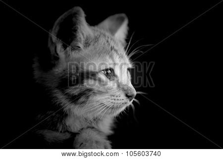 Doubtful Oragne Little Kitten  Cat Lie On Wooden Floor Closeup Black And White Lowkey