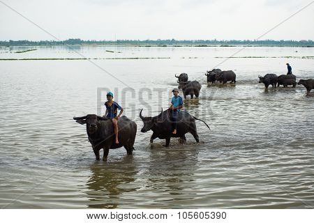 Children in rural areas are relaxing on the back of buffalo in floating season