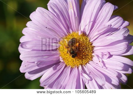 Blooming Asters, Bee