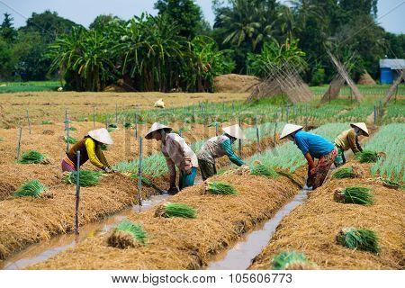 Farmers grow onion in a field in Dongthap, Vietnam.