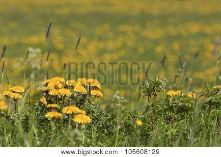 Closeup, macro of  dandelion, Taraxacum.