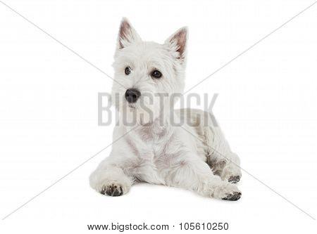 West Highland White Terrier Puppy Dog
