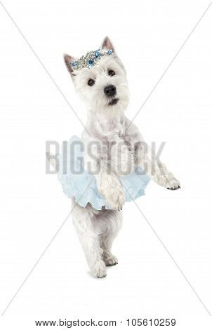 West Highland White Terrier Standing On Hind Legs