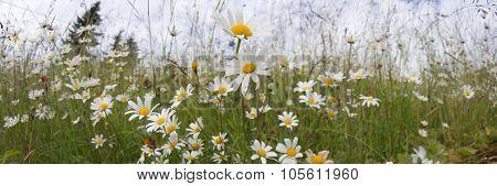 Green grass and chamomiles panorama