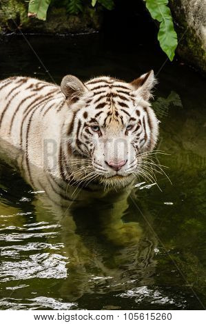 Shot of a White Tiger swimming in the river