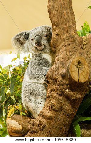 Koala Bear climbing tree