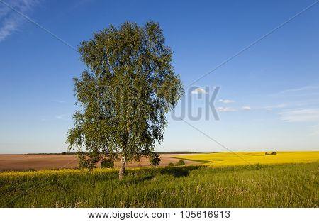 Birch in rape field