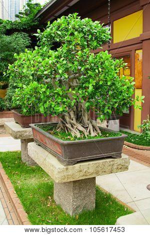 bonsai tree,  Chinese or japanese garden background