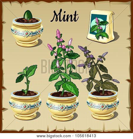 Stage of plant growth mint in a pot