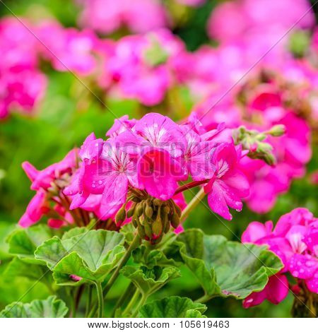 Beautiful Blooming Red Geranium Flower With Green Leaves In   Nature Background, Closeup
