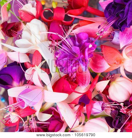 Colorful Fuchsia Flowers Like Background, Card For Summer Or Spring Designs, Closeup