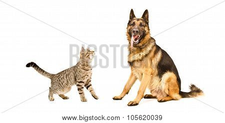 German Shepherd dog and curious cat Scottish Straight