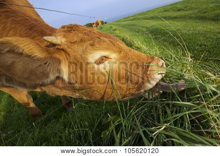 Grazing Cow In Normandy