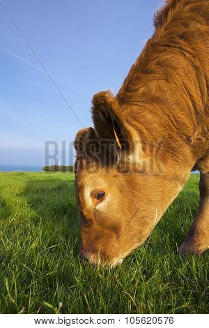 Portrait Of Grazing Cow