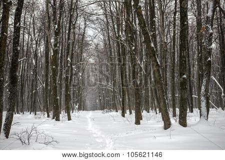 Xmas Mysterious Winter Forest With Snowstorm And Footpath