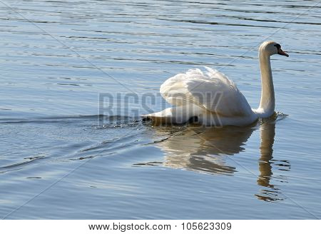 Swan swimming and drinking