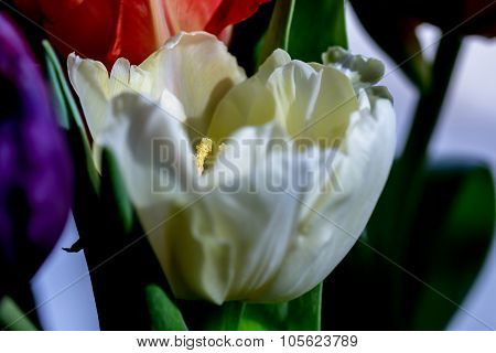 White Tulip Disclosed