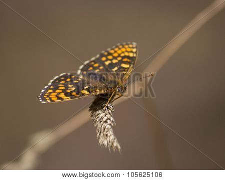 Nickerl's fritillary (Melitaea aurelia) butterfly