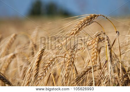 Barley in summer morning light
