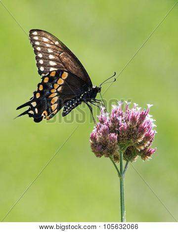 Black Swallowtail III