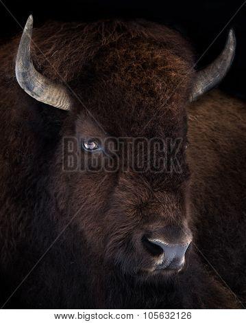 American Bison VII