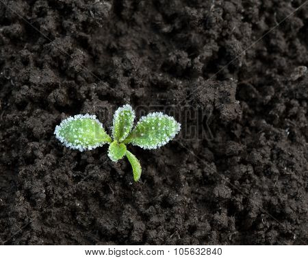 Ice Crystals On Green Seedling