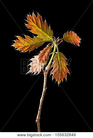 Young Oak Twig