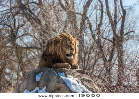 Male Lion Resting in the Sunshine