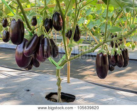 Purple Eggplant On Its Tree