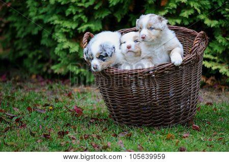 Three Cure Australian Shepherd Puppies In Wicker Basket On Garden Grass