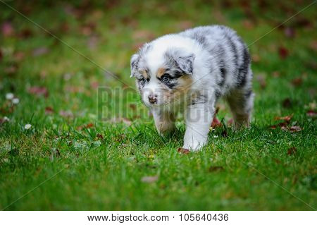 Cute Australian Shepherd Puppy Exploring World Oustide Home