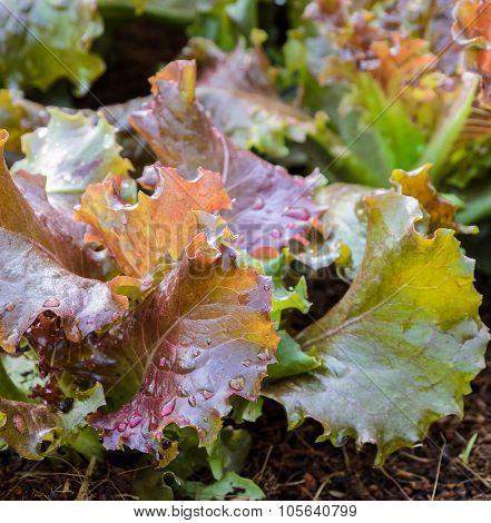 Red Lettuce Growing In Soil