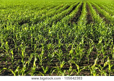young corn . agricultural field