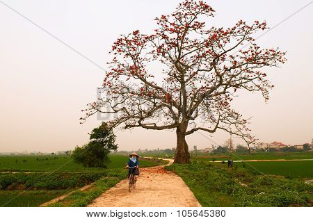 Unidentified woman ride bicycle near bombax ceiba tree in Hanoi, Vietnam.