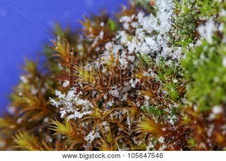 Closeup photo of snowflakes on moss, shallow depth of field