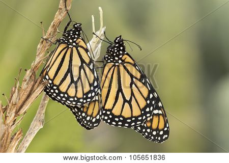 Pair of two Monarch Butterflies