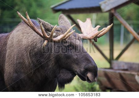 Head Of An Elk (alces Alces) With Mighty Antlers