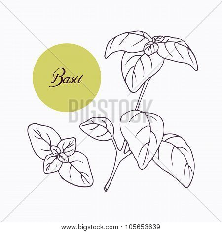 Hand drawn basil branch with leves isolated on white