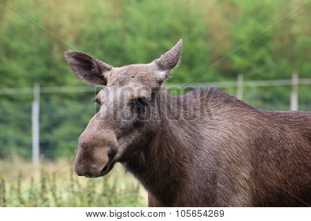 Head Of An Elk (alces Alces) Without Antlers