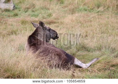An Elk (alces Alces) Lying In The Grass